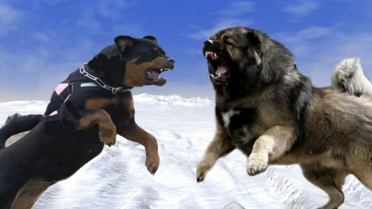 Caucasian Vs Rottweiler Which Is More Aggressive