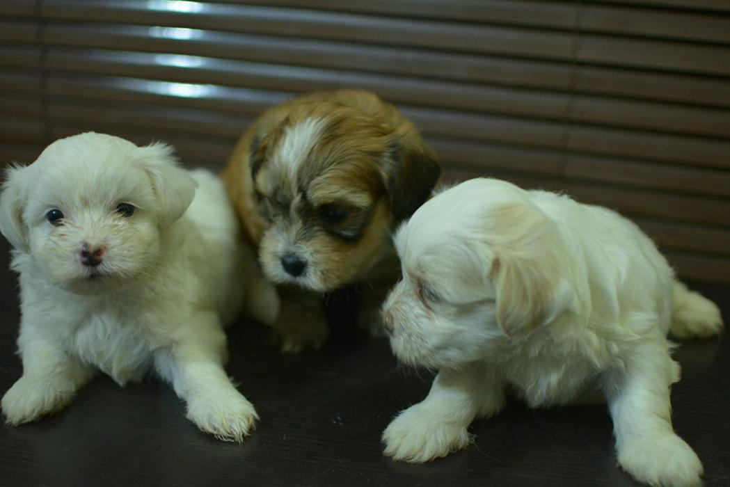 Lhasa Apso Puppies For Akc