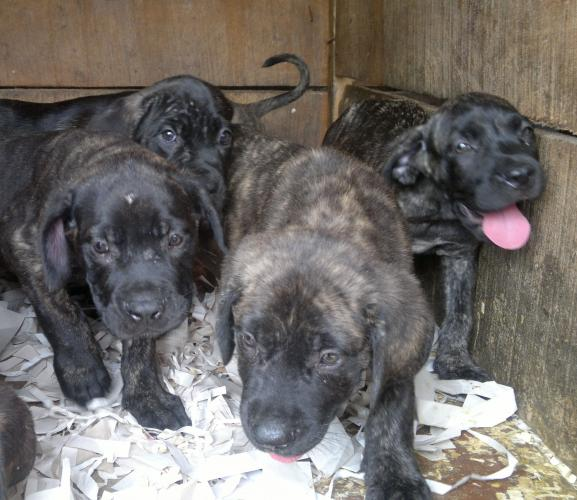 Cane Corso Puppy For Sale In Abuja