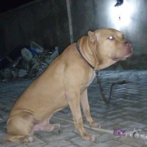 Pit Bull Terrier