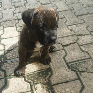 Fairvet | Dog breeds - Boerboel