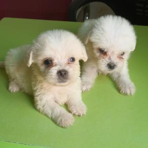 Poodle, Miniature